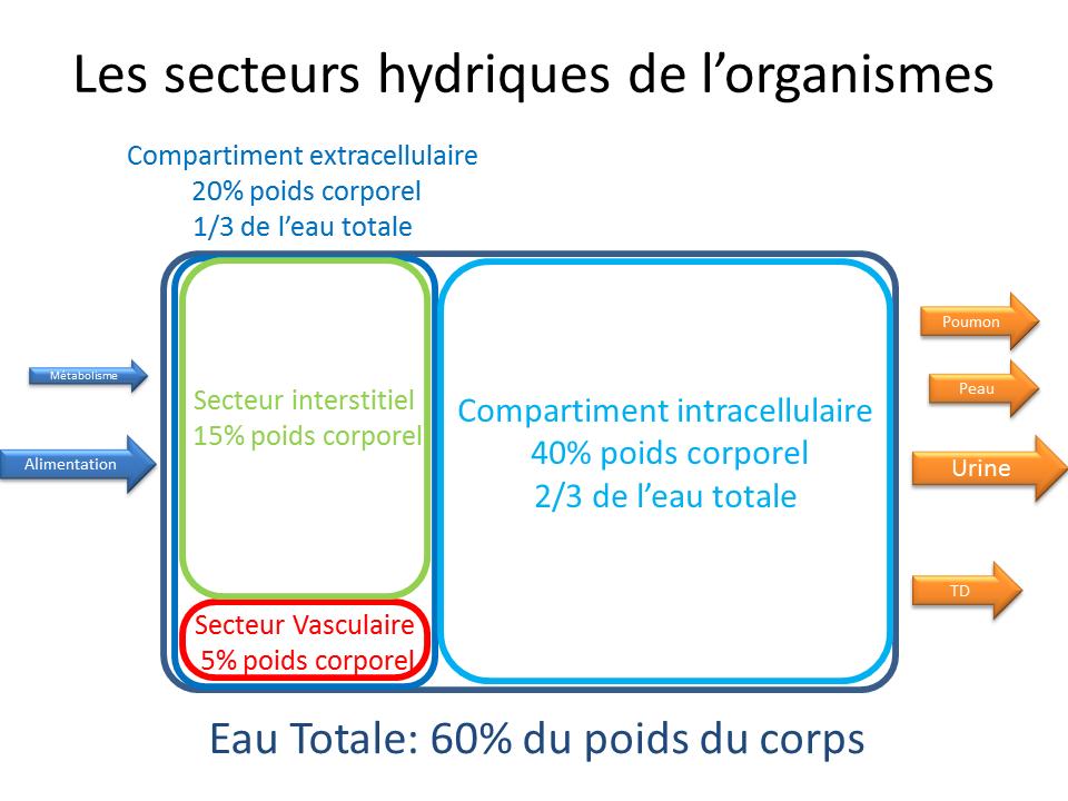 secteurs hydriques de l'organisme
